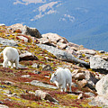 Mountain Goats On Mount Bierstadt In The Arapahoe National Forest by Steve Krull