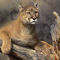 Mountain Lion Felis Concolor by Dave Welling