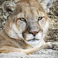 Mountain Lion by LeeAnn McLaneGoetz McLaneGoetzStudioLLCcom