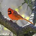 Mr Northern Cardinal by Herbert L Fields Jr