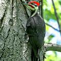Mr. Pileated Woodpecker by Cheryl Baxter
