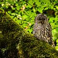 Muir Woods Owl by La Rae  Roberts