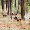 Mule Deer In The Pike National Forest by Steve Krull