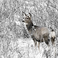 Mule Deer In Winter In The Pike National Forest by Steve Krull