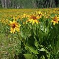 Mule Ear Sunflowers by Crystal Garner