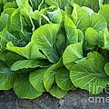 Mustard Greens by Inga Spence