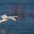 Mute Swan In Flight by Philip Pound