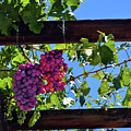 Napa Valley Inglenook Vineyard -2 by Tommy Anderson