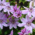 Nelly Moser Clematis by Ed Mosier