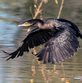 Neotropic Cormorant by Tam Ryan
