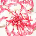 Nice Carnation by Elvira Ladocki