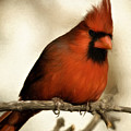 Northern Cardinal by Lana Trussell