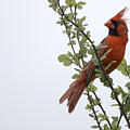 Northern Cardinal Portrait by Roy Williams