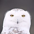 Snowy Owl 3256 A.k.a. Smiling Owl by Joseph Marquis