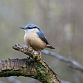 Nuthatch by Stephen Jenkins