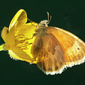 Ochre Ringlet Butterfly by Buddy Mays