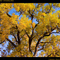 Old Giant  Autumn Cottonwood by James BO  Insogna
