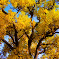 Old Giant  Autumn Cottonwood Orton by James BO  Insogna