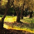 Old Olive Grove by Frank Wilson