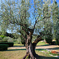 Olive Tree by Nino Marcutti