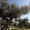 Olive Trees by Vladi Alon