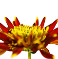 One Flower by Svetlana Sewell