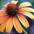 Orange Coneflower by Mary Haber