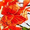 Orange Glow by Lisa Scott
