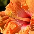 orange Hibiscus blossom by Werner Lehmann