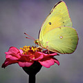 Orange Sulphur Butterfly Portrait by Karen Adams