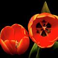 Orange Tulip Macro by Paul Moore