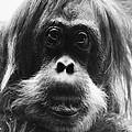 Orangutan by Granger