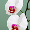 Orchid-2-st Lucia by Chester Williams