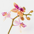 Orchid Study by Susan Westervelt