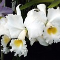 Orchids In White by Mindy Newman