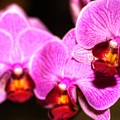 Orchids  by Laurie Prentice