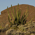 Organ Pipe Cactus by Jean Noren