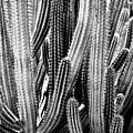 Organ Pipe Cactus by Roger Passman