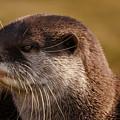 Oriental-small-clawed-otter by Rawshutterbug