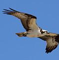Osprey by Annie Babineau