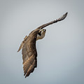 Osprey In Flight by Paul Freidlund