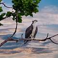 Osprey In Tree by Buddy Scott
