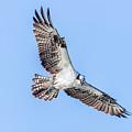 Osprey by Les Lenchner