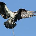 Osprey by Mircea Costina Photography