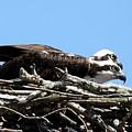 Osprey Pair by Annie Babineau