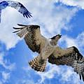 Osprey by Steve McKinzie