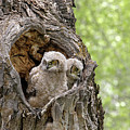 Owlets by Ronnie and Frances Howard