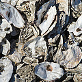 Oyster Shells by Inga Spence