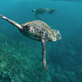 Pacific Green Sea Turtle Chelonia Mydas by Pete Oxford
