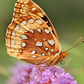 Painted Lady Butterfly by Michelle DiGuardi